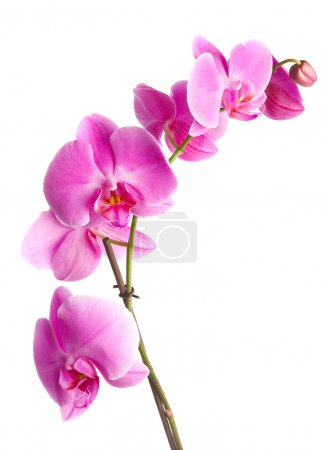 Photo for Pink flowers orchid on a white background - Royalty Free Image