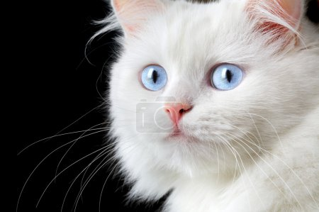 Photo for Portrait of a white cat on a black background... - Royalty Free Image
