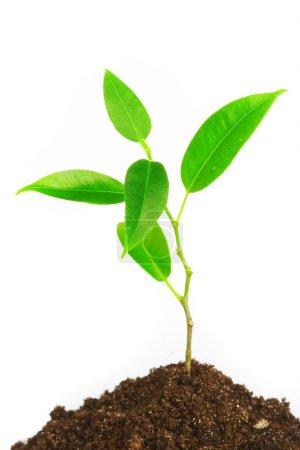Photo pour Jeune plante sur fond blanc - image libre de droit