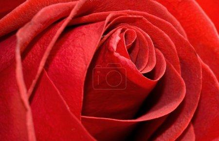 Photo pour Rose rouge macro romance fond - image libre de droit