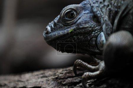 Photo pour Portrait étroite, affreux reptile de zoon - image libre de droit