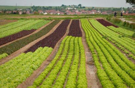 Lettuce field