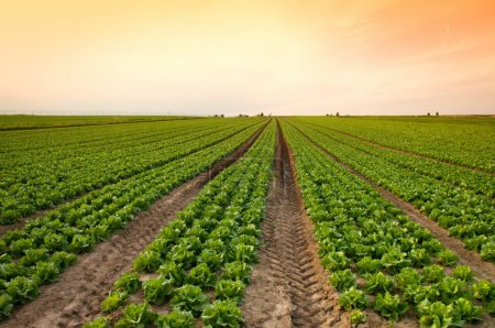 Photo for Sunset over a field of lettuce - Royalty Free Image