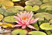 Detailní pohled na vodní lilie