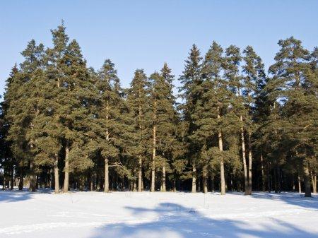 Photo pour Vue de la forêt de conifères hiver, Russie centrale - image libre de droit