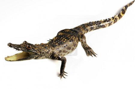 Little crocodile isolated on white