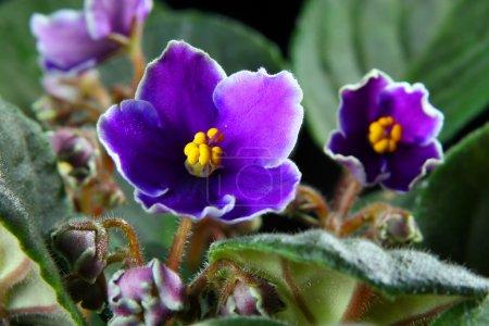 Photo pour La violette africaine sur fond noir - image libre de droit