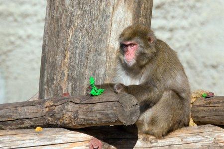 Photo pour Macaque japonais vivant sur le territoire d'un zoo - image libre de droit