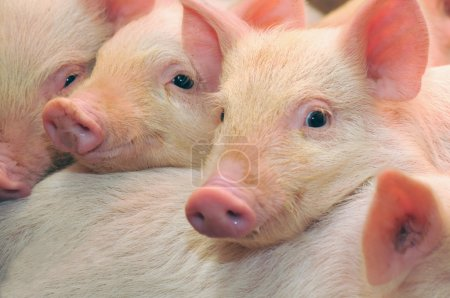 Photo for Pigs who are photographed on one of farms - Royalty Free Image