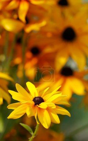 Yellow rudbeckia in a garden. Selective
