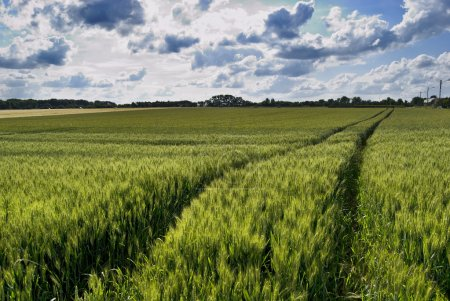 Photo for Wheat green field and sky - Royalty Free Image
