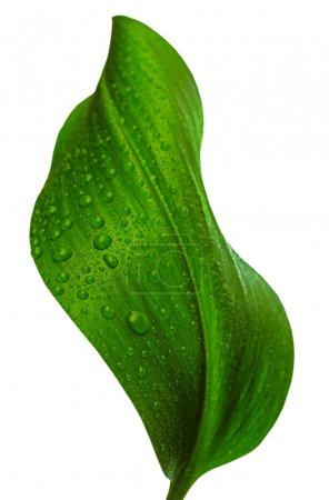 Photo for Green leaf with drops of water on white background - Royalty Free Image