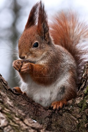 Photo for Red squirrel posing at the park - Royalty Free Image