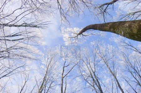 Photo pour Arbres enneigés dans une froide journée d'hiver - image libre de droit