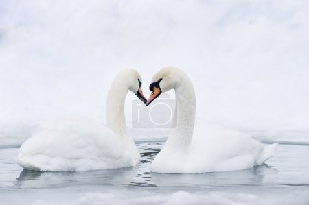 Couple of swans forming heart