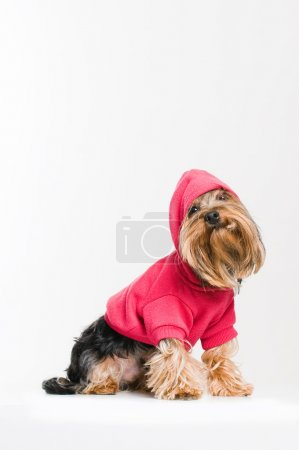 mignon yorkshire terrier en pull-over rose