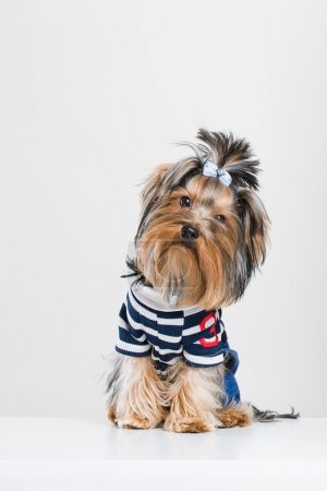 Funny little Yorkshire terrier