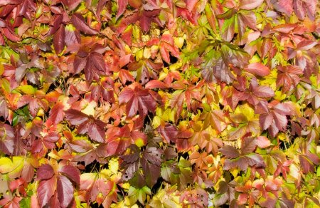 Saturated red autumn foliage