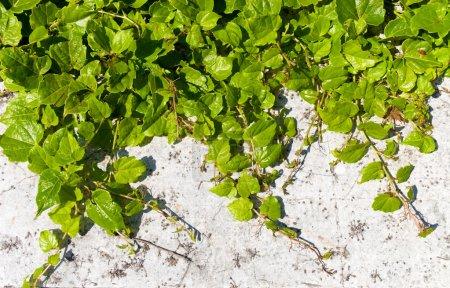 Photo pour Plante d'asclépiade sur un mur . - image libre de droit