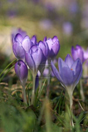 Crocuses on the foot on the mountain