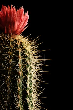 Photo for Flowering cactus close up on black background - Royalty Free Image
