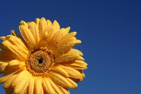 Photo pour Gros plan de gerber daisy avec des gouttelettes sur fond de ciel bleu - image libre de droit