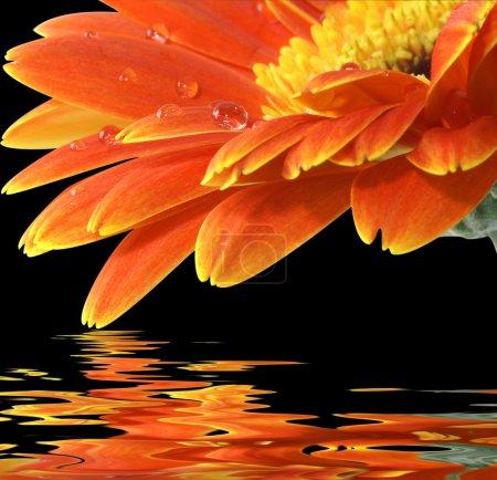 Photo pour Orange gerbera daisy sur le fond noir avec reflet - image libre de droit