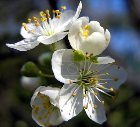 Cherry bloom in spring