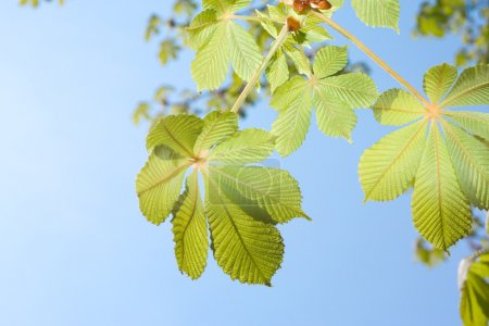 Spring Chestnut tree leaves