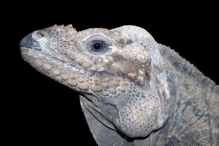 Horned ground iguana