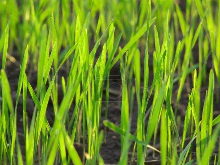 Photo pour Macro vert gazon frais paysage. champ de printemps - image libre de droit