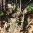 Tree Roots Exposed Due to Soil Erosion...