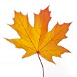 A fallen yellow maple leaf isolated on a white bac...
