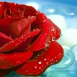 A beautiful red rose with drops of morning dew on ...