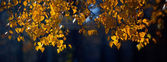 Branch of birch with autumn leaves