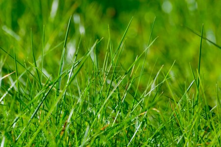 Foto de Primer plano de hierba verde en un campo de mañana - Imagen libre de derechos