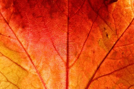 Photo for Close up of a red ivy leaf - Royalty Free Image