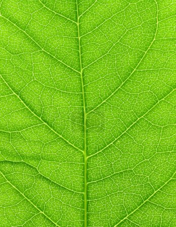 Photo for Vibrant green leaf macro close up natural background. - Royalty Free Image