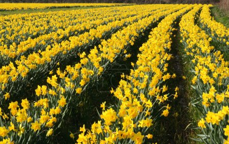 Field of daffodils in bloom.