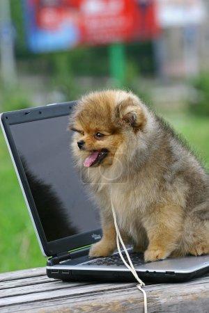 Photo pour Le poméranien (souvent appelé un pom) est une race de chien de type spitz, nommé pour la région de Poméranie en europe centrale (aujourd'hui partie de l'Allemagne de l'est et n - image libre de droit