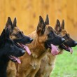 Four dogs of breed a German shepherd in a profile ...