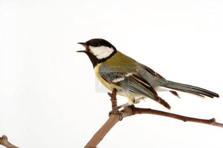 Photo pour Oiseau Mésange petit très utile pour un jardin - image libre de droit