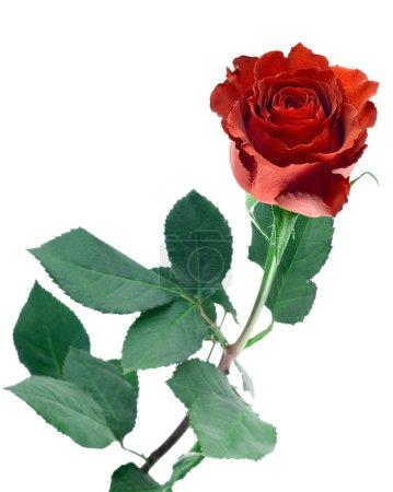 Photo pour Longue tige bouton de rose rouge isolé sur fond blanc - image libre de droit