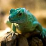 Lizard green reptile nature animal wildlife...