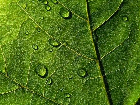 Photo pour Collection des textures (feuille vert foncé avec des gouttes de la pluie) - image libre de droit