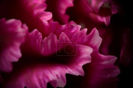 Extreme macro: pink