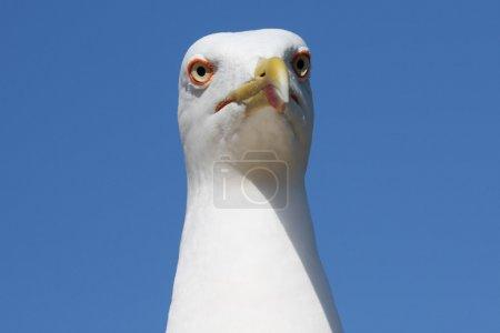 Sea-gull close-up photo