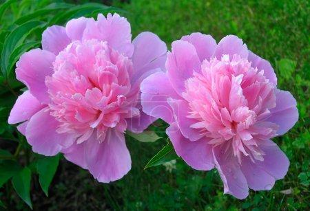 Photo pour Rose pivoine - image libre de droit