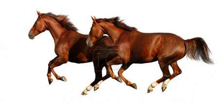 Budenny horses gallop
