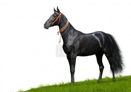 Black akhal-teke stallion